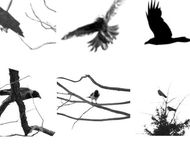Crows and ravens brushes