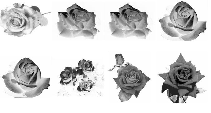 9 Rose photoshop brushes