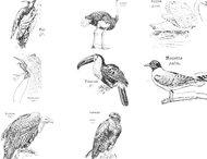 Vintage Illustrations: Birds